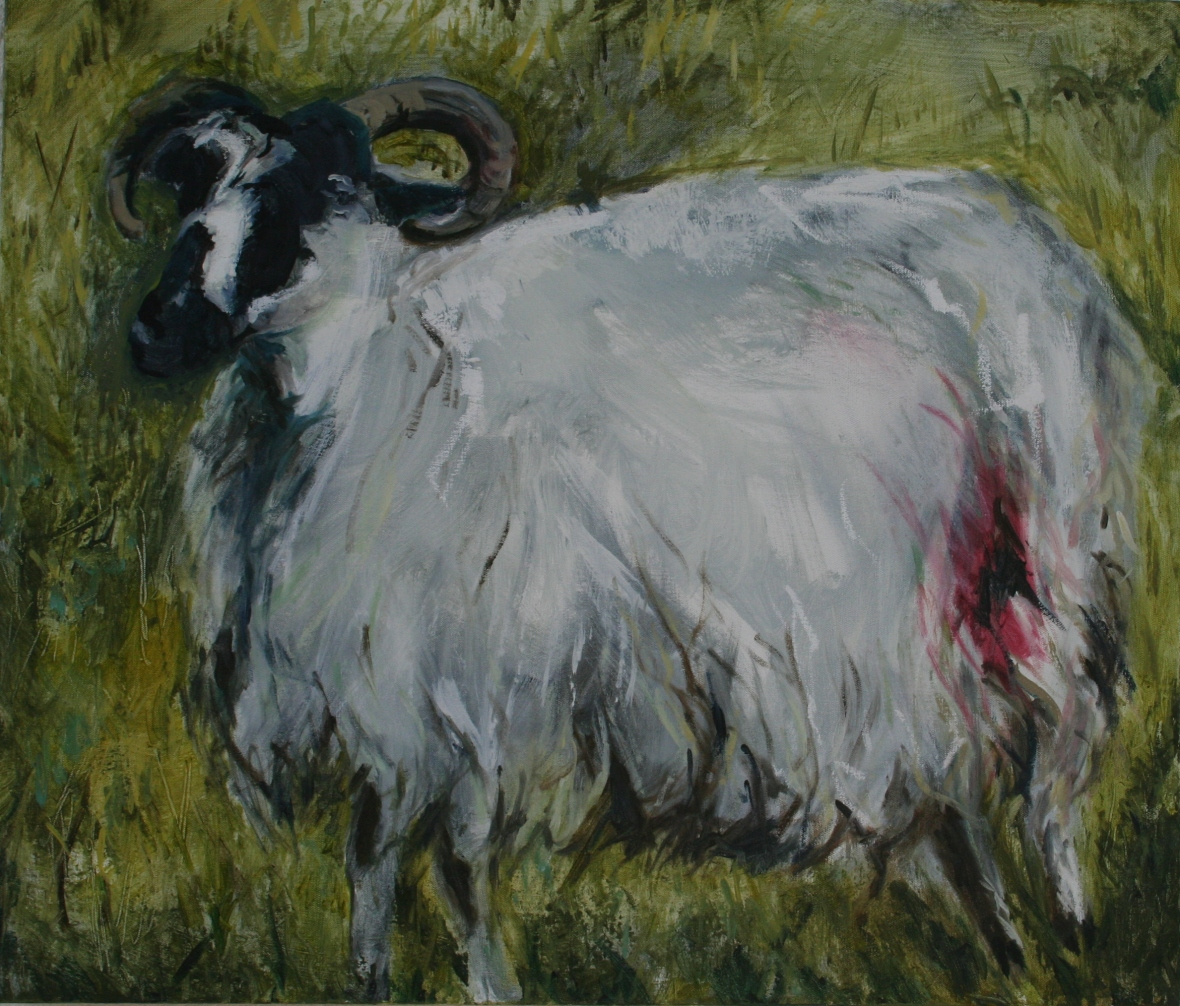 Mayo sheep