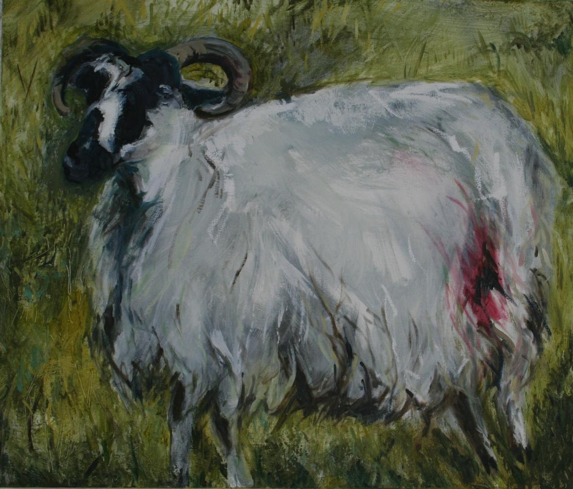 Mayo sheep